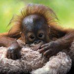 Let's Help The Orangutans